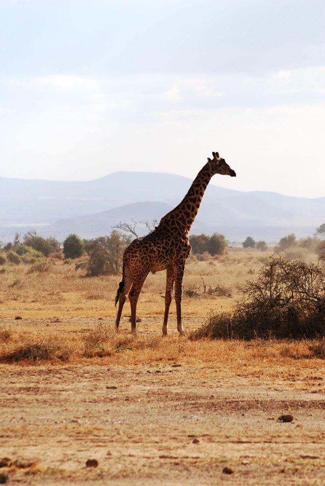 safari kenya giraffa