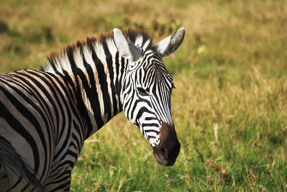 safari kenya zebra
